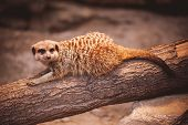picture of meerkats  - Cute young meerkat playing on a log - JPG