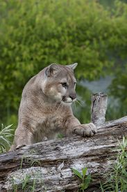 foto of cougar  - Cougar staring intently with front feet on a log - JPG