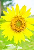 stock photo of sunflower  - Close up of the sunflower - JPG