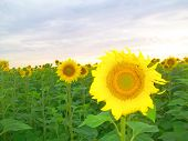 image of sunflower  - Evening field with sunflowers and sunflower closeup - JPG