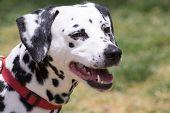 stock photo of spotted dog  - Beautiful Dalmatian dog close up portrait - JPG