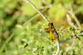 picture of broad-bodied  - Libellula depressa also known as the broad - JPG