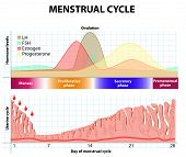Постер, плакат: Menstrual Cycle Endometrium And Hormone
