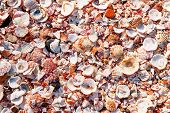 picture of shells  - Shell background - JPG