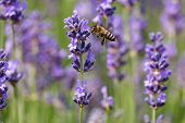 pic of lavender plant  - Lavender in bloom with bee close up of scented plant with insect - JPG