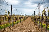 pic of vines  - Neatly trellised spring vines in a vineyard in Dirmstein - JPG