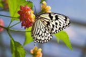 stock photo of blue butterfly  - butterfly is feeding on flower - JPG