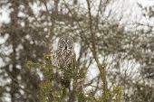 pic of snow owl  - A lone Great Grey Owl in a tree - JPG