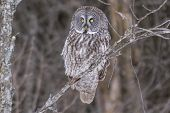 picture of snow owl  - A lone Great Grey Owl in a tree - JPG