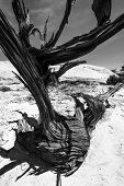 picture of juniper-tree  - Single Tree in the Slot Canyon Black and White Photography Utah - JPG