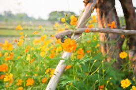 foto of cosmos flowers  - Blur short of Cosmos flower Blooming cosmos flowers  - JPG