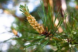 stock photo of pinus  - male strobile on the pine  - JPG
