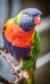 picture of lorikeets  - Rainbow Lorikeet on a  branch up close - JPG