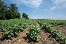 foto of solanum tuberosum  - Potatoes growing on a rolling hillside in Central PA on a bright sunny day - JPG