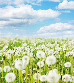 Meadow with fluffy dandelions under blue sky with clouds poster