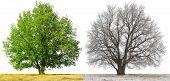 Постер, плакат: Зимой и летом деревья изолированные на белом