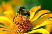 stock photo of bumble bee  - Bee on the yellow summer flower close - JPG