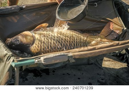 Big Carp In Water Poured