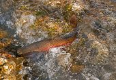 stock photo of upstream  - This photo shows a large Lahontan cutthroat trout fish spawning in a creek with lots of bubbles and motion in the water as he