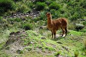 Llamas In The Arequipa Region Peru Farm Animals poster