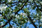 White Flowers Are Cherries. Blooming Cherry Tree. Cherries In The Spring. poster