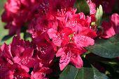 Big pink azalea or rhododendron in garden. Season of flowering azaleas (rhododendron). poster