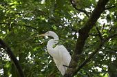 Amazing Great Eastern Egret Bird Sitting In A Tree Top. poster