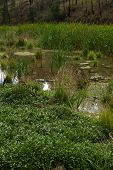 picture of swales  - plants in a lush swampy wetland in the woods - JPG