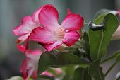 Adenium Obesum (kamboja Jepang) Flowers Of Blooming. Natural Adenium Obesum Flower Landscape. Closeu poster