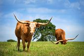 Texas Longhorn Cattle Grazing On Spring Pasture. Blue Sky Background With Copy Space. poster