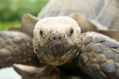 African Spurred Tortoise. A beautiful Male Tortoise aka Land Turtle enjoying lunch. poster