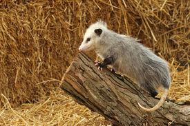 stock photo of opossum  - A capture of a baby opossum climbing a log - JPG