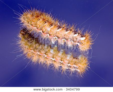 poster of The Fluffy Caterpillar Creeps On A Mirror