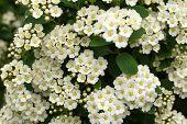 Spirea Bush With White Flowers Blossom. Spring Flowers Blossom Garden. poster