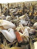 stock photo of threshing  - Threshed corncobs with rime between stubble on the ground - JPG