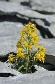 picture of goldenrod  - Goldenrod - Solidago virgaurea Growing in Limestone Pavement on The Burren Ireland - JPG