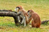 Couple Of Monkey Is Grooming. Male Monkey Checking For Fleas And Ticks In Female. Monkey Family Fur  poster