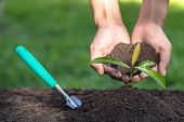 Soil In The Hands Of A Young Woman Seedlings That Grow From Fertile Soil. And There Is A Shoveling G poster