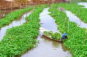 Female Farmer Paddle In The River To Collect Morning Glory For Sale Beside Sa Pan Khong Floating Mar poster