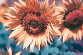 Close Up View Of Sunflower Flowers In The Field . Bright Sunflower In Sunset Light, Close-up, Select poster