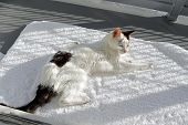 Older Female Cat Named Kitty In A Happy Nappy Mood Lounging On A Soft White Throw Rug Outside On A G poster
