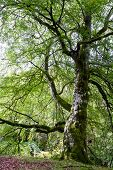 View Of A Very Large Tree In The Scottish Highlands With Large Limbs And Knotty Texture poster