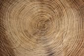 Wooden Texture From Cut Tree Trunk Of Maple Tree, Closeup. Cross Section Of A Tree Trunk. Top View. poster