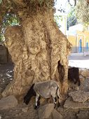stock photo of nubian  - Old big tree with goats in   Nubian village on Elephantine Island - JPG