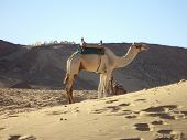 Arabian Camel in the Sahara Desert