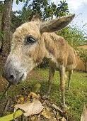 picture of jack-ass  - Wide angle of a small well cared donkey feeding - JPG
