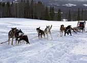image of skijoring  - The Trail Sled Dog Race in Sweden - JPG