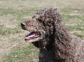 pic of standard poodle  - Brown standard poodle head and shoulders panting - JPG