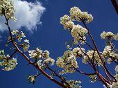 White Blossoms Blue Sky poster