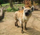 foto of hyenas  - Close - JPG